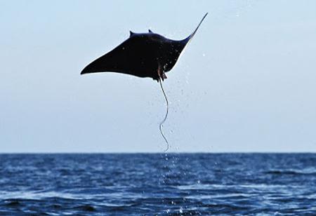 Sting Ray Jumping