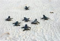 Turtles in Sand